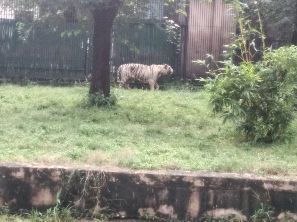 Tigers in Delhi Zoo