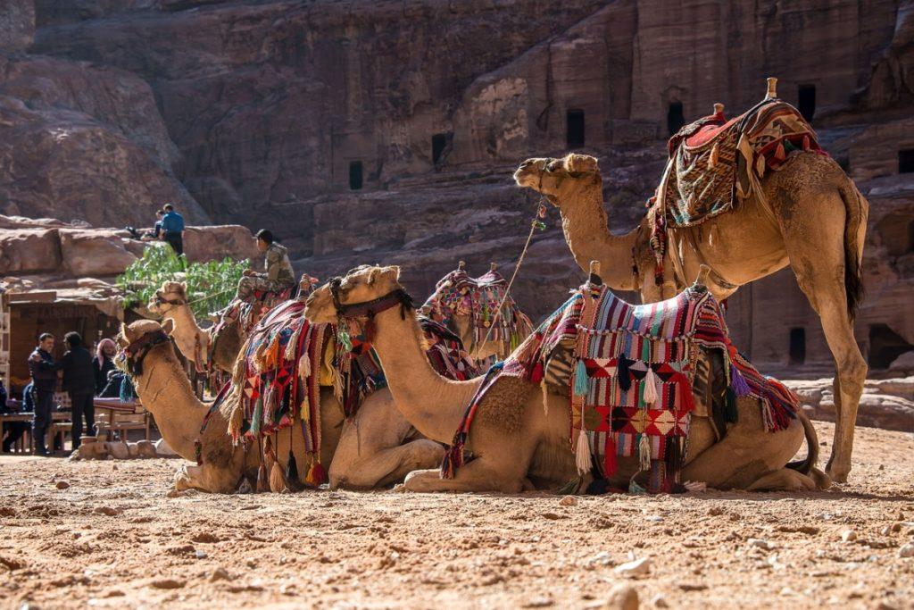 Camels Race at Pushkar Fair